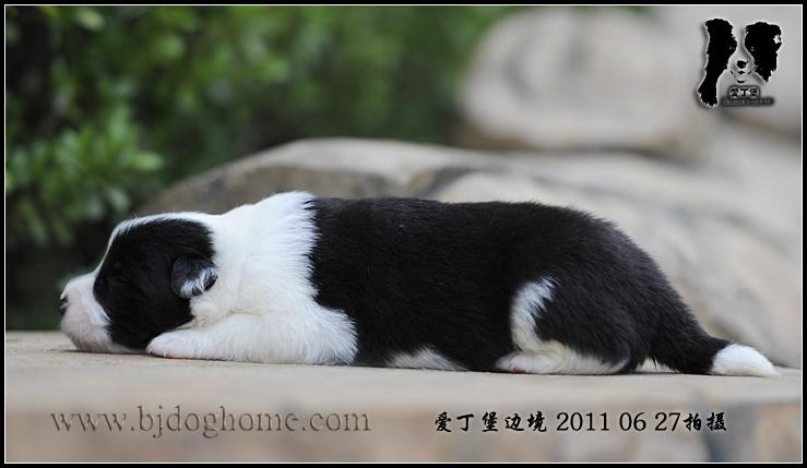 唯美黑白狗狗素材